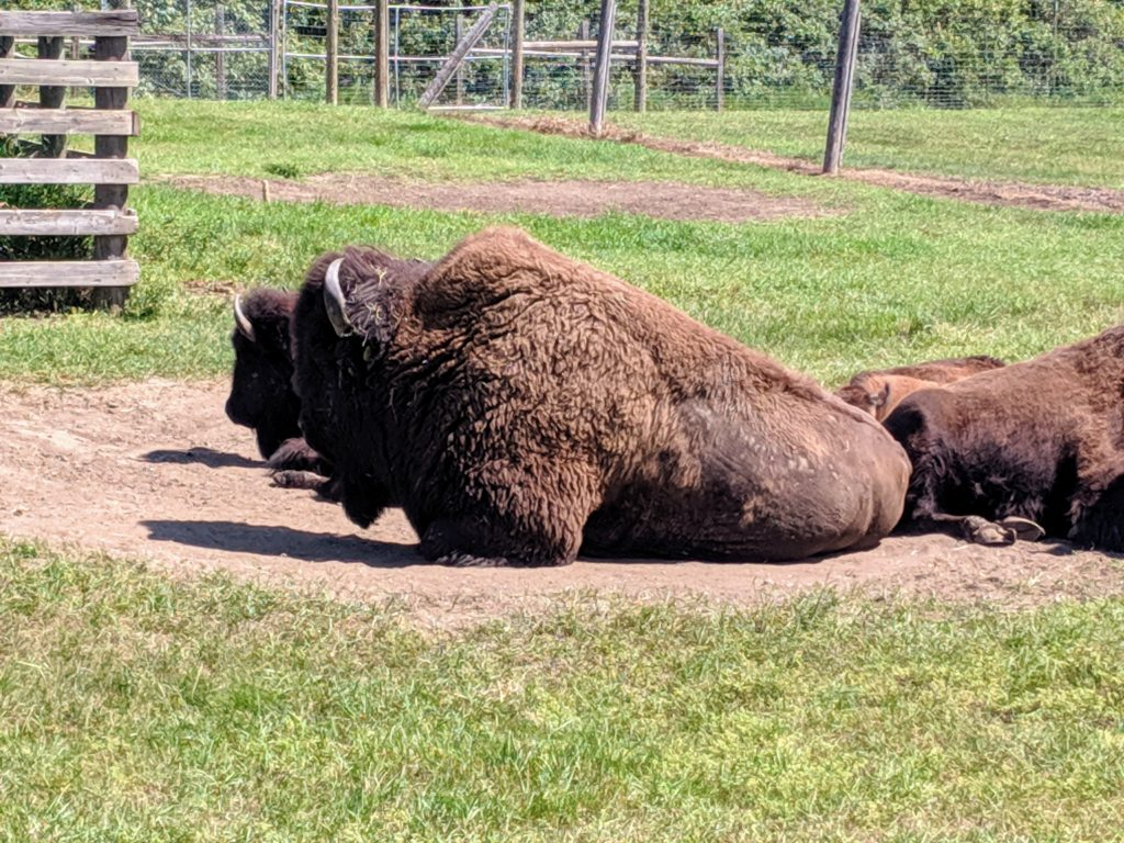 photo of the bison | storybook land aberdeen sd