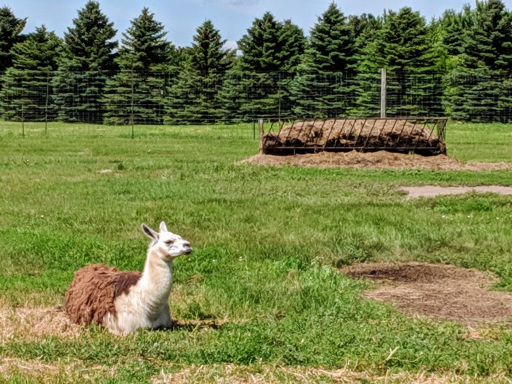 photo of llamas | storybook land aberdeen sd